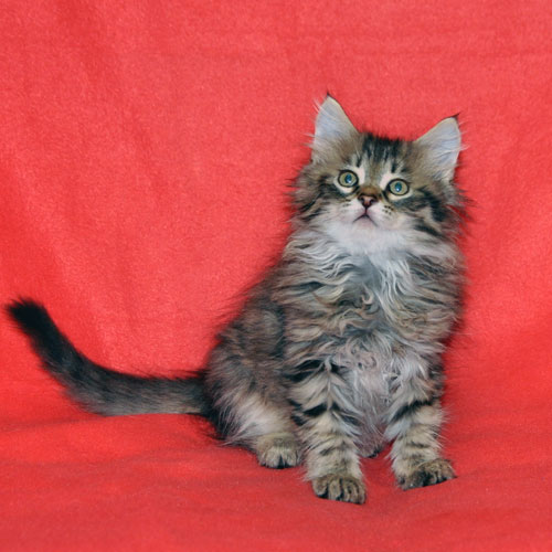 siberian kitten for sale chicago