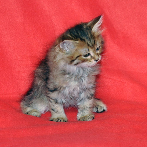 siberian kitten for sale edmonton