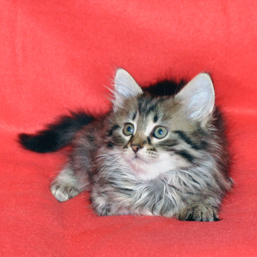 siberian kitten for sale gatineau