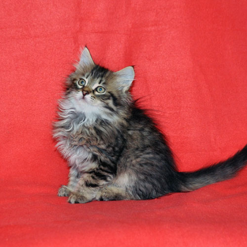 siberian kitten for sale illinois