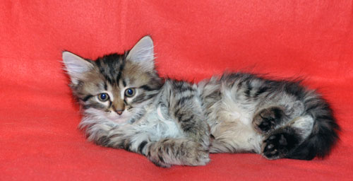 siberian kitten for sale indiana