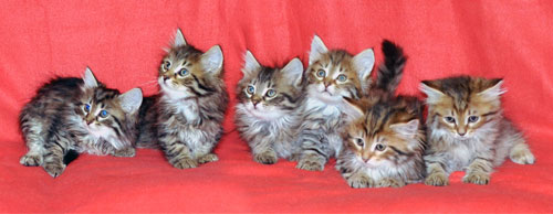 siberian kitten for sale mississauga