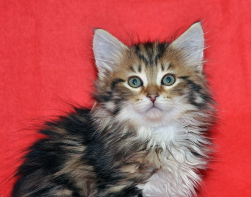 siberian kitten for sale saskatchewan