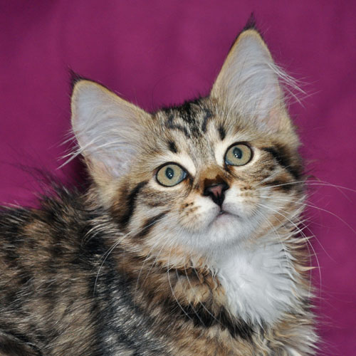 siberian kitten for sale lavalier