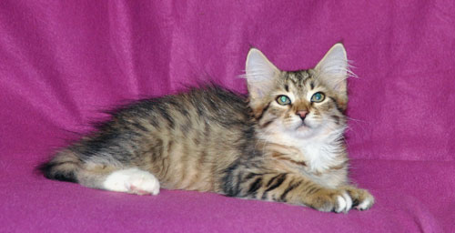 siberian kitten for sale montreal