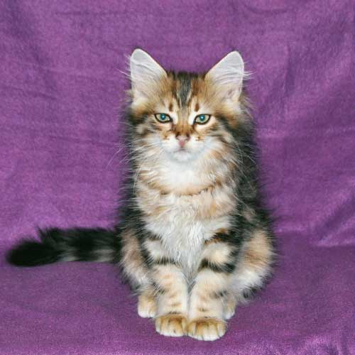 siberian cat quebec