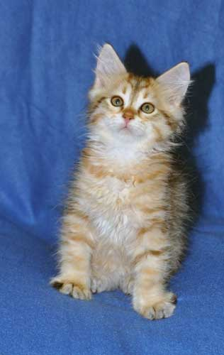 siberian kittens for sale from a trusted breeder alberta