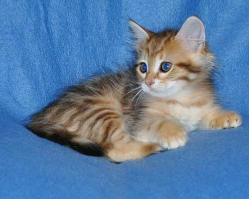 siberian kittens for sale from a trusted breeder british columbia