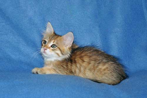 siberian kittens for sale from a trusted breeder calgary