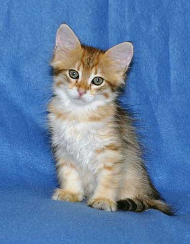 siberian kittens for sale from a trusted breeder edmonton