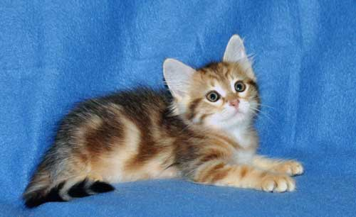 siberian kittens for sale from a trusted breeder halifax