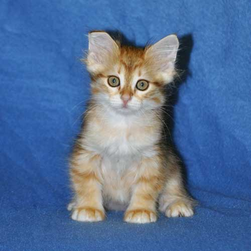 siberian kittens for sale from a trusted breeder michigan