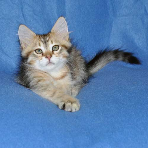 siberian kittens for sale from a trusted breeder montreal