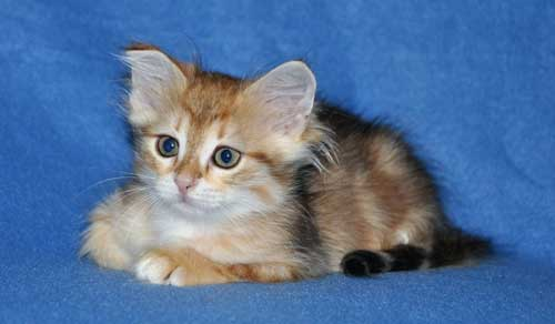 siberian kittens for sale from a trusted breeder new york