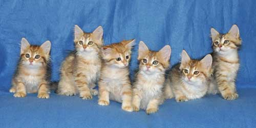 siberian kittens for sale from a trusted breeder ontario