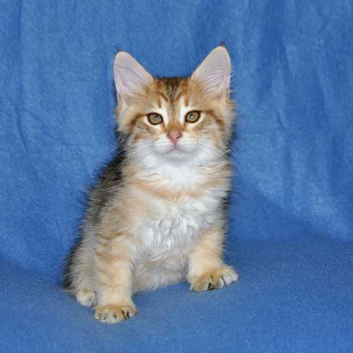 siberian kittens for sale from a trusted breeder ottawa