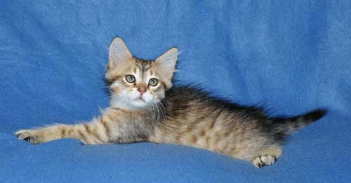 siberian kittens for sale from a trusted breeder quebec
