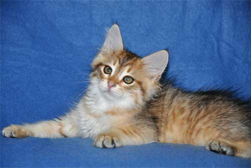 siberian kittens for sale from a trusted breeder toronto