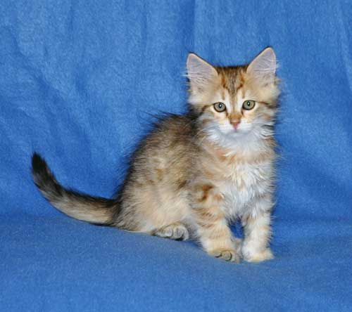 siberian kittens for sale from a trusted breeder vancouver