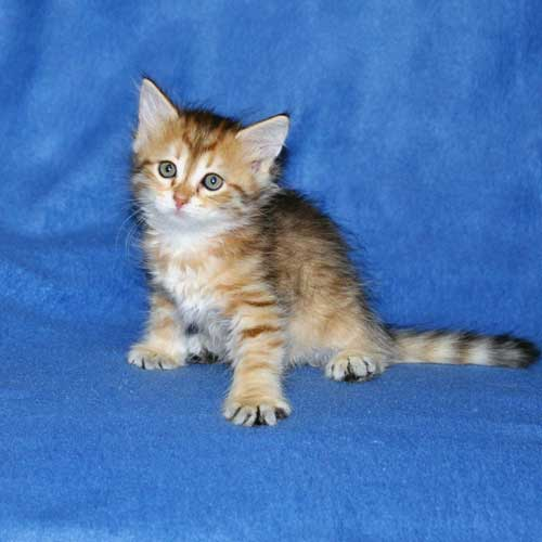 siberian cats breeders vancouver