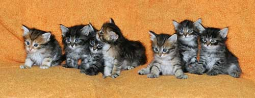 hypoallergenic cats for sale