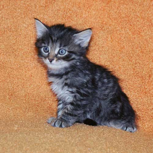 hypoallergenic cats for sale calgary