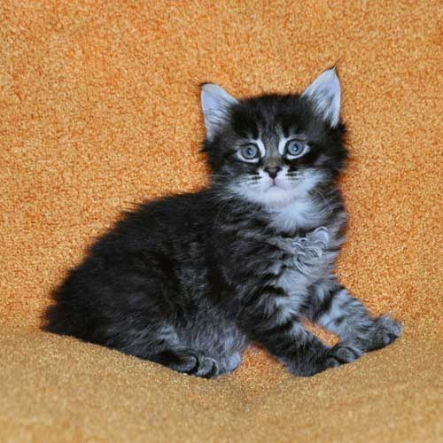 hypoallergenic cats for sale edmonton