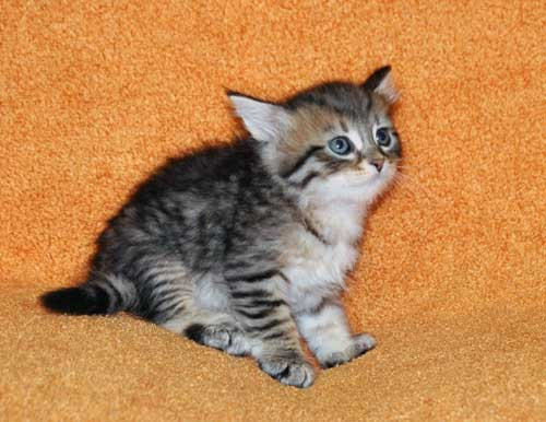 hypoallergenic cats for sale maritimes