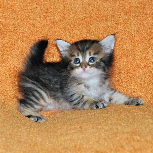 hypoallergenic cats for sale ottawa