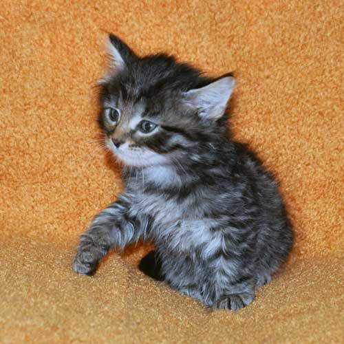 hypoallergenic cats for sale vancouver