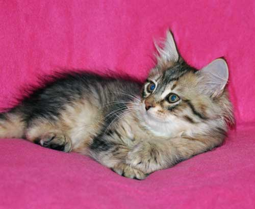 siberian kitten for sale alberta