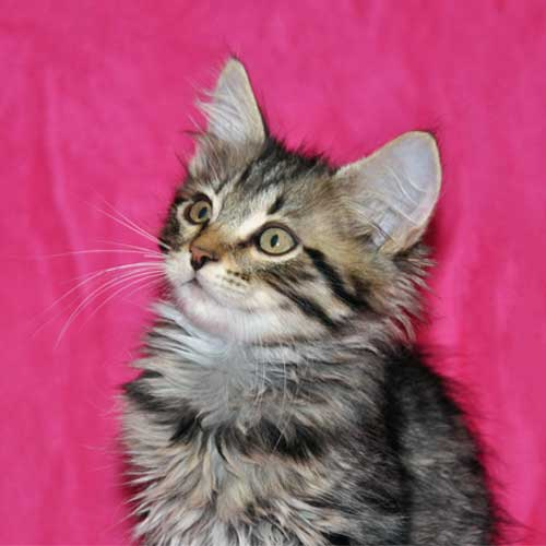 siberian kitten for sale british columbia
