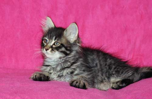 siberian kitten for sale calgary