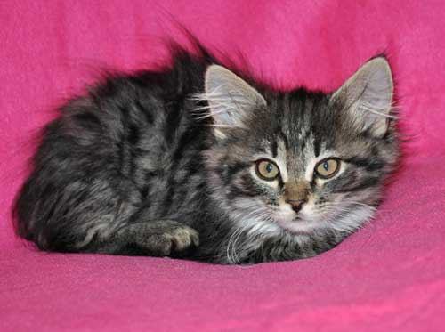 siberian kitten for sale halifax