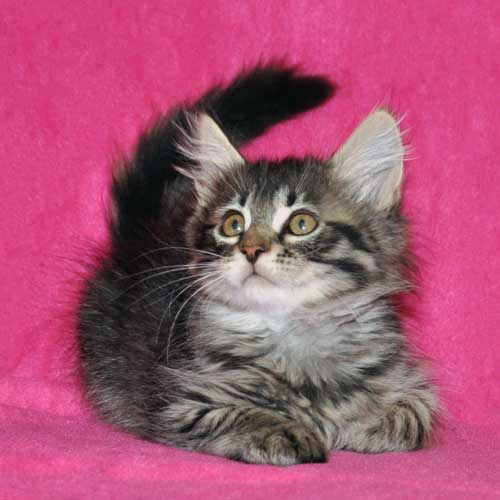 siberian kitten for sale manitoba