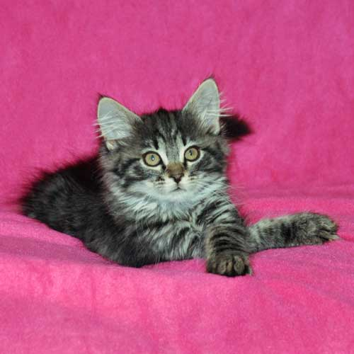 siberian kitten for sale maritimes