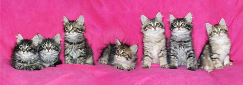 siberian kitten for sale new york