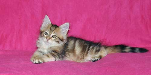 siberian kitten for sale ontario