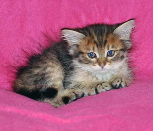 siberian kitten for sale quebec