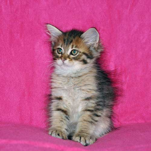 siberian kitten for sale toronto