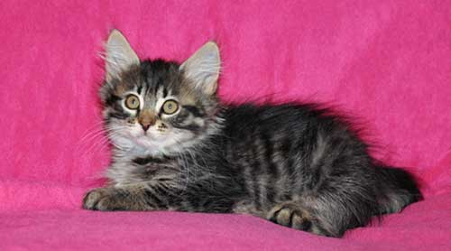 siberian kitten for sale winnipeg