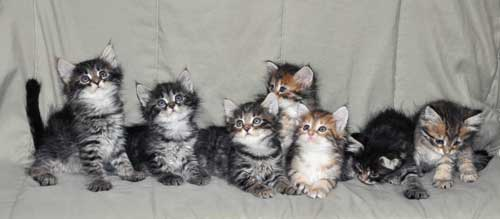 siberian cats for sale indiana