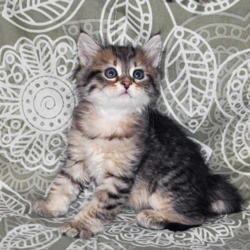 siberian cats for sale maritimes