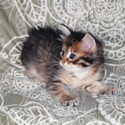 siberian cats for sale montreal