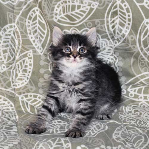 siberian cats for sale nova scotia