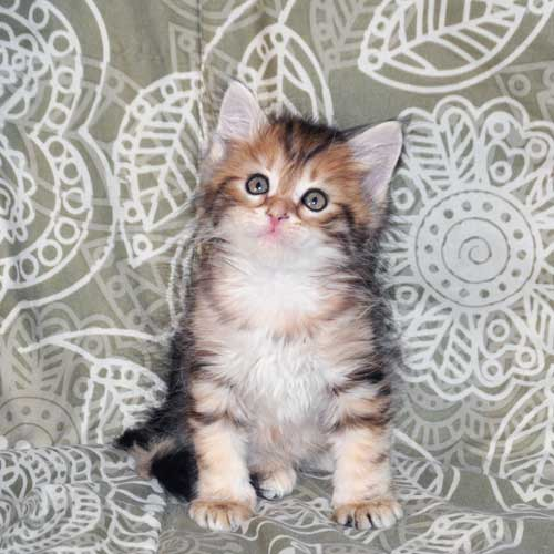 siberian cats for sale ottawa