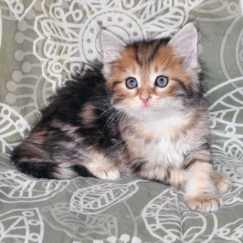 siberian cats for sale toronto