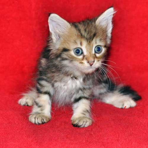 hypoallergenic cats for sale alberta