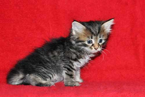 hypoallergenic cats for sale british columbia