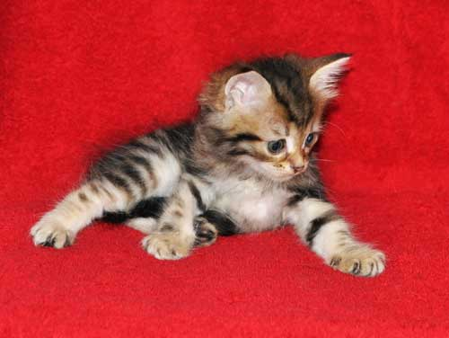 hypoallergenic cats for sale ontario
